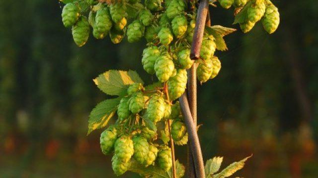 Hopbellen India Pale Ale (IPA)